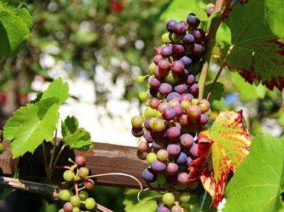 dunkelblaue Trauben an einem Weinstock