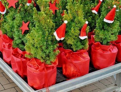 kleine Weihnachtsbäume in Töpfen