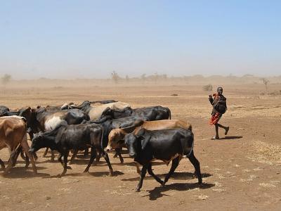 Ein afrikanischer Junge treibt eine Viehherde über die staubtrockene Savanne