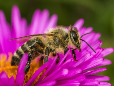 Nahaufnahme einer Honigbiene auf einer Lila Blüte
