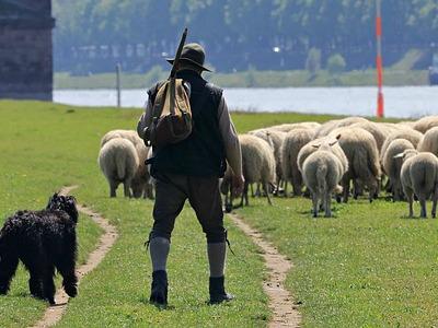 ein Schäfer mit Hund und Schafherde
